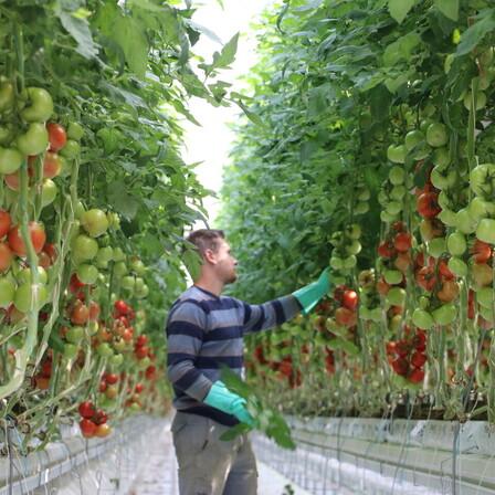 case study, grodan, greenhouse, man, harvest