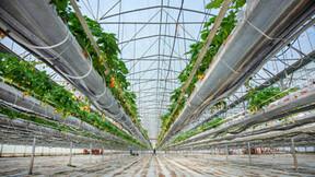 grower, strawberry, greenhouse, plants, slabs, grodan