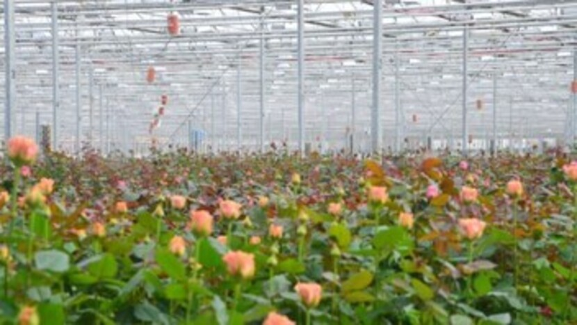 Vitaflor, Grodan, Customer, Greenhouse