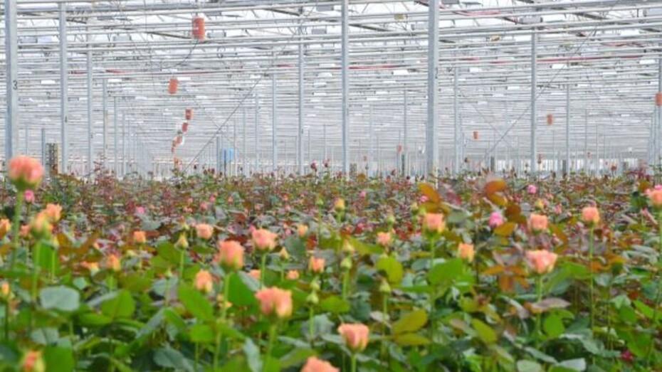 Vitaflor, Grodan, Customer, Greenhouse